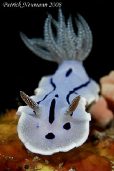 Another Nudi Shot from Anilao taken with Canon 400D + 100mm macro lens